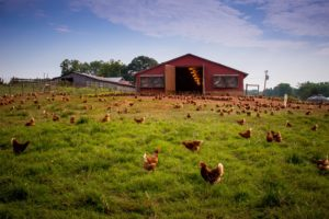 free range chickens for real